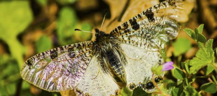 İda'nın Kelebekleri -23