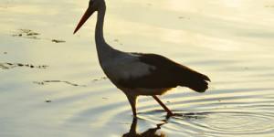Apolyont Gölü'nün Gerçek Sahipleri; Leylekler -6