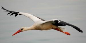 Apolyont Gölü'nün Gerçek Sahipleri; Leylekler -9