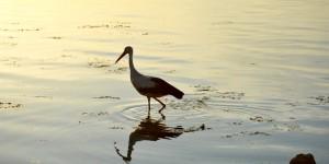 Apolyont Gölü'nün Gerçek Sahipleri; Leylekler -16