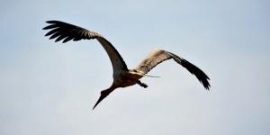Apolyont Gölü'nün Gerçek Sahipleri; Leylekler -5