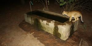 Saz Kedisi Tür Koruma Eylem Planı Tamamlandı