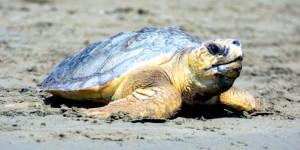 Deniz Kaplumbağaları Yuvalamaya Başladı