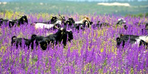 Organik Keçi Sütü, %100 Ekolojik Pazarlarda…