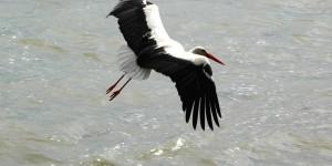 Apolyont Gölü'nün Gerçek Sahipleri; Leylekler -26