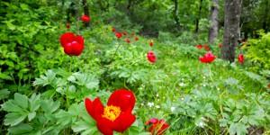 Şakayık, Bocur, Kançiçekleri  -35