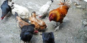 Manisa Salihli'de Organik Tavukçuluk Toplantısı Yapıldı
