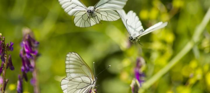 İda'nın Kelebekleri -104