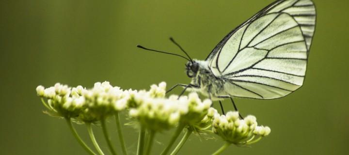 İda'nın Kelebekleri -96