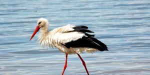 Apolyont Gölü'nün Gerçek Sahipleri; Leylekler -58