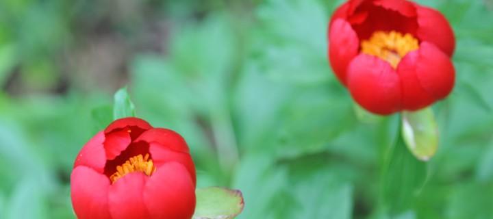 Şakayık, Bocur, Kançiçekleri  -53