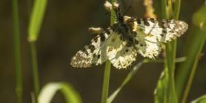 İda'nın Kelebekleri -90