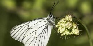 İda'nın Kelebekleri -91