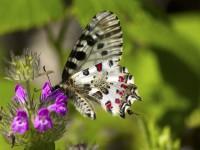 İda'nın Kelebekleri -121