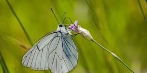 İda'nın Kelebekleri -109