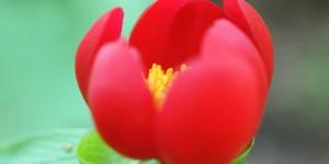 Şakayık, Bocur, Kançiçekleri  -59