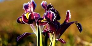 Kelebizik (Nevruz Çiçeği)