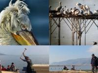 Tepeli Pelikanlar Yeni Yuvalarına Kavuştu