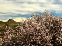 Palu'nun Badem Çiçekleri Belgelendi