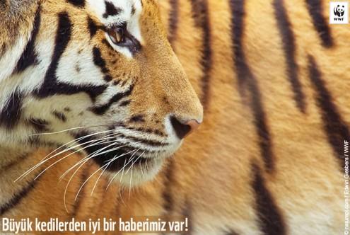 Siberian tiger (Panthera tigris altaica) captive