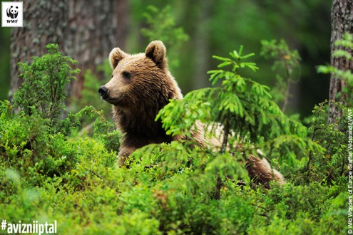Eurasian brown bear (Ursus arctos) Suomussalmi, Finland, July 2008