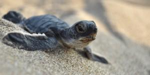 Bugün Dünya Deniz Kaplumbağaları Günü