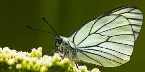 İda'nın Kelebekleri -155