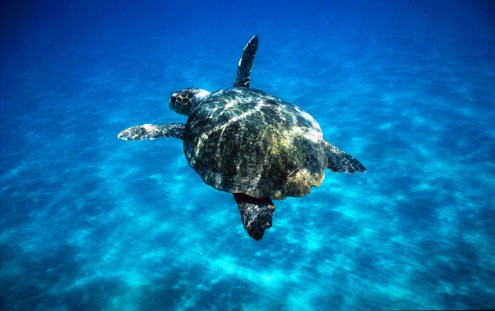 Loggerhead turtle (Caretta caretta) swimming in open sea. Zákinthos, Lagana Bay, Greece. Project numbers: 9E0103, GR0017, GR0043