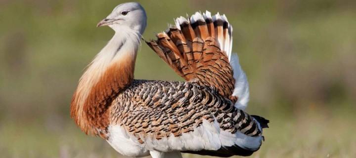 Nesli Tehlike Altındaki Bozkır Kuşları İçin Koruma Programı Başlıyor