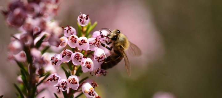 6 Ağustos / Arıların Bal Yapma Zamanı