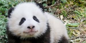 Pandalar Artık Daha Güvende