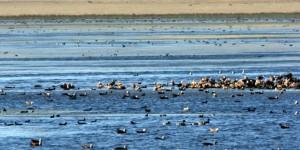 Kuyucuk Gölü'nün 233. Kuş Türü Tarla Ardıcı Oldu