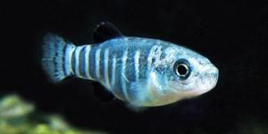 Anadolu'nun İki Balığından Biri Tehlikede