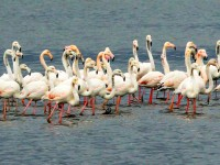 İzmit Körfezi, Flamingolar ve Binlerce Sukuşunun Uğrak Yeri Oldu