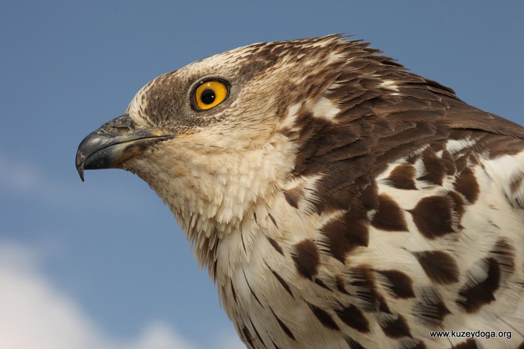aras honey buzzard sekercioglu