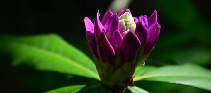 Komar Çiçeği