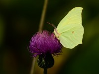 Yenice'nin Kelebekleri