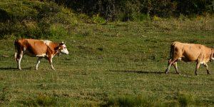 3 Şubat / Çiftlik Hayvanlarının Çiftleşme Zamanı