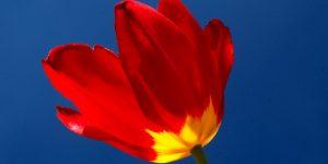 15 Nisan / Lale Mevsimi