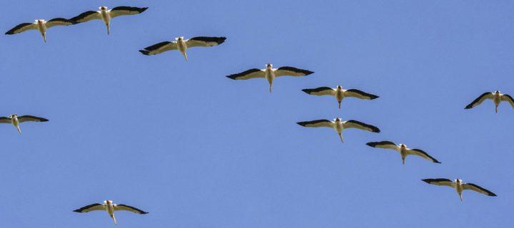 Ak Pelikanların Dünyadaki En Önemli Dinlenme Alanlarından Biri Keşfedildi