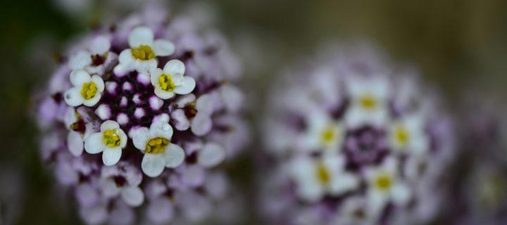 Bilecik Baharında Açan Çiçekler