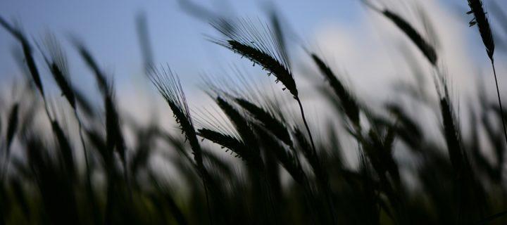 7 Haziran / Pirinç Ekme, Ekin Biçme Zamanı