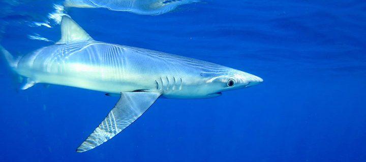 Akdeniz'in Köpekbalıkları 'Tehlikede'
