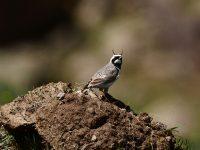 Boynuzlu Tarla Kuşu